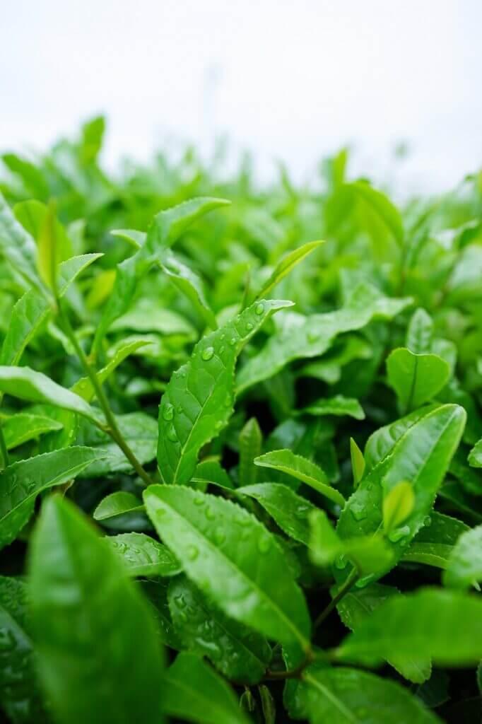 Feuilles de thé vert lystea