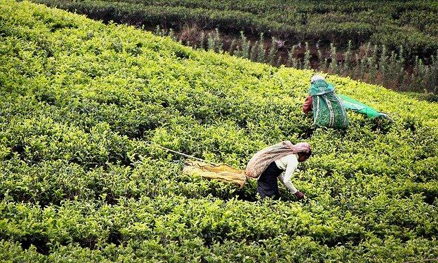 La cueillette manuelle du thé lystea