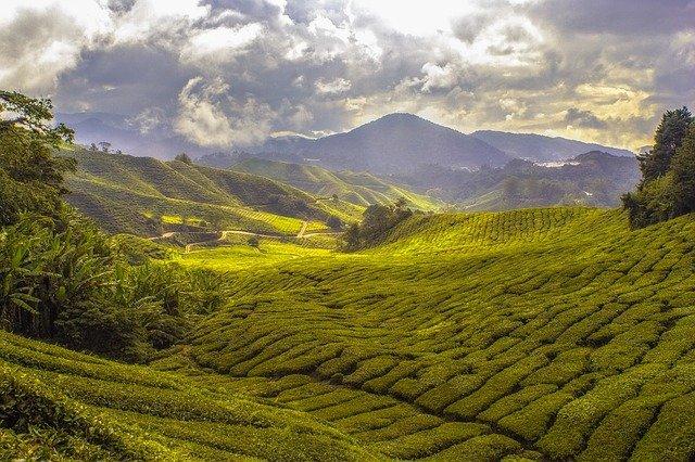 La saison de cueillette du thé lystea